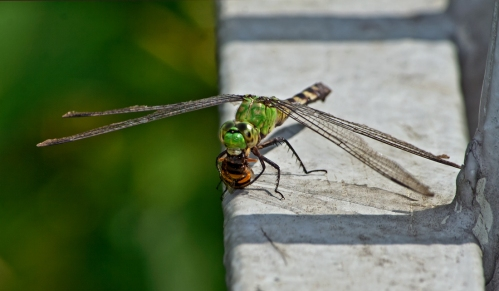 dragonfly_bee1_blog