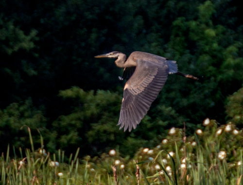 heron_flying_blog