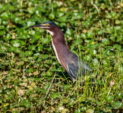 heron_grass1_blog