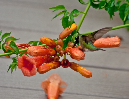 hummingbird2_blog