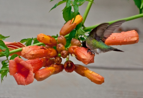 hummingbird3_blog