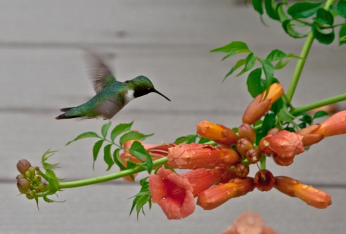 hummingbird4_blog