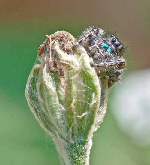 Jumping_spider_A_blog