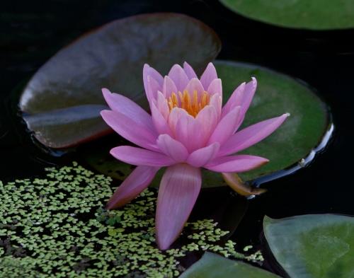 pink_lily_crop_blog