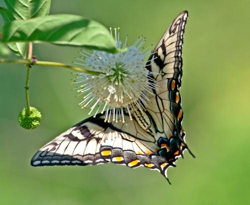 swallowtail2_blog
