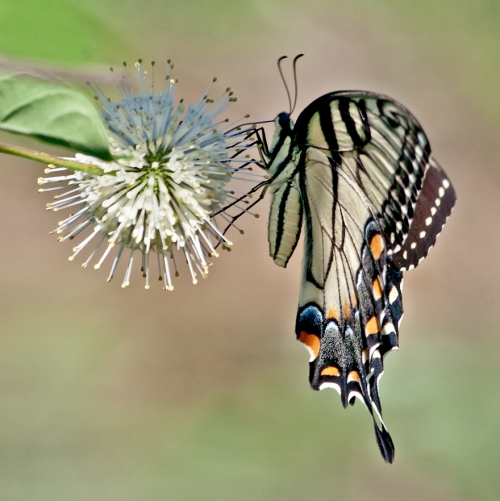 swallowtail_blog