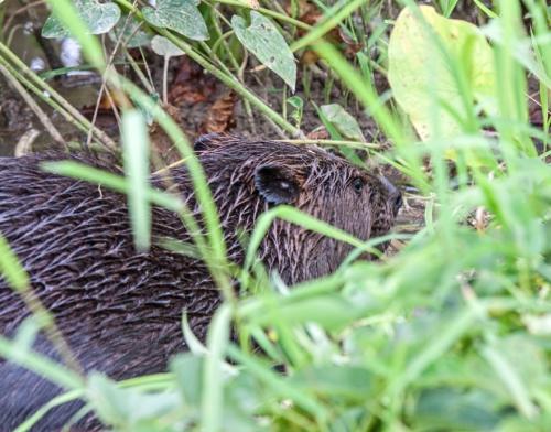 beaver3_blog