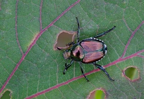 beetle_chew_blog