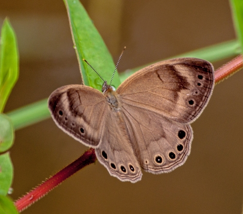 brown_butterfly1_blog