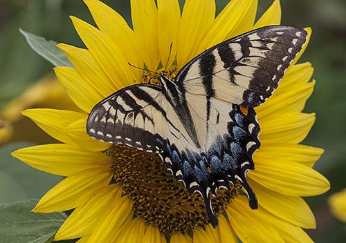 EasternTigerSwallowtail lorez