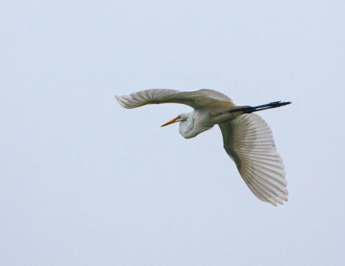 flying_egret1_blog