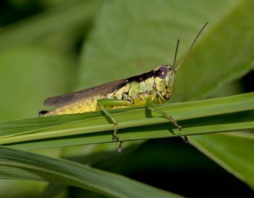 grasshopper1_blog