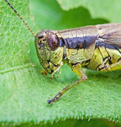 grasshopper_closeup_blog