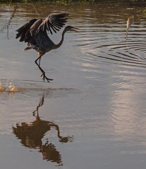 heron_silhouette2_blog