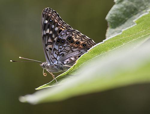 SpottedButterfly lorez