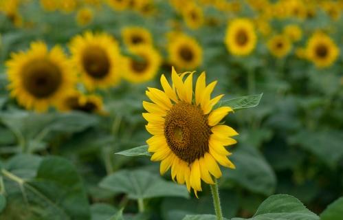 sunflowers_blog