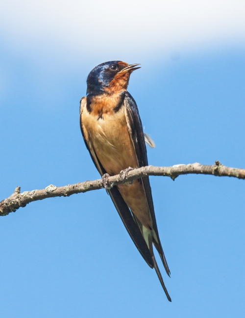 swallow1_blog