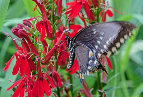 swallowtail_cardinal_blog