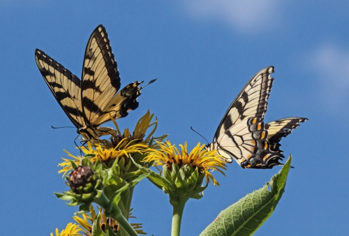 swallowtails_blog