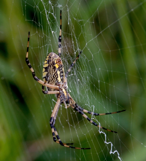 argiope_web1_blog