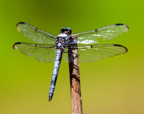 blue_skimmer2_blog