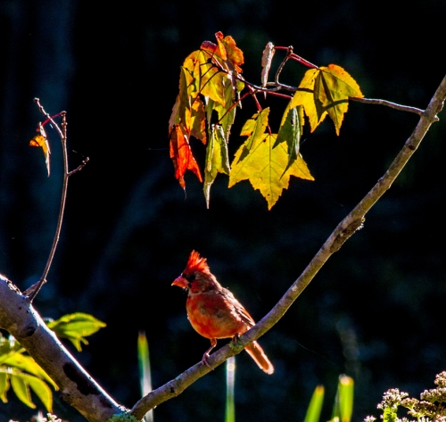 cardinal_fall_blog