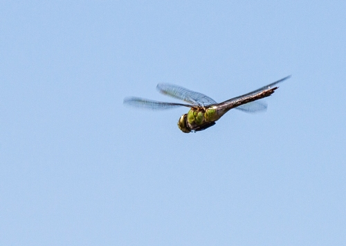 flying_dragonfly_blog