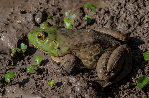 frog_mud_blog