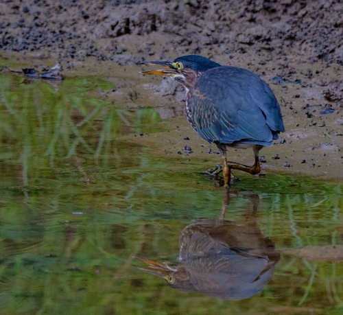 green_heron_close1_blog