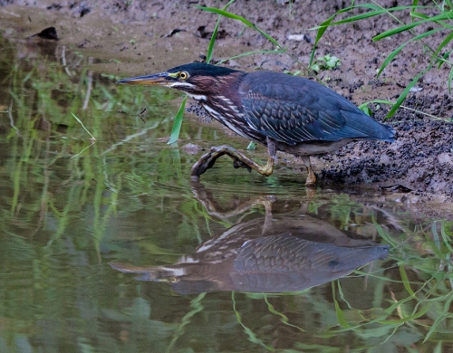green_heron_close2_blog
