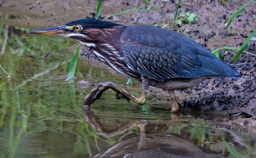 green_heron_close2a_blog