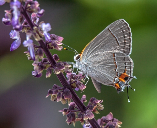 hairstreak1_blog