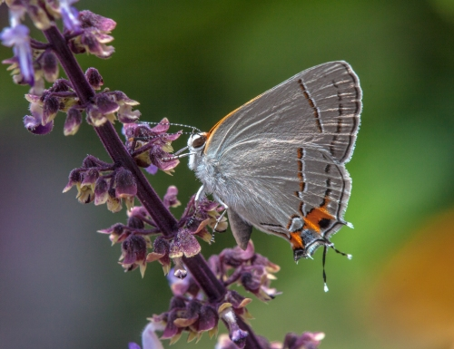 hairstreak2_blog