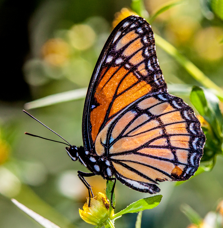 Viceroy Butterfly Mike Powell
