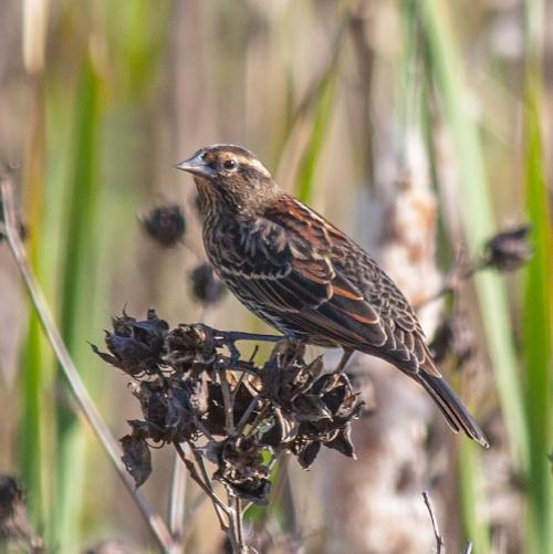 blackbird_female_blog