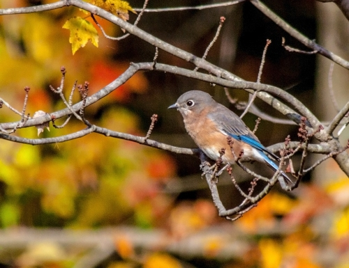 bluebird_autumn_blog