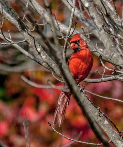 cardinal_autumn_blog