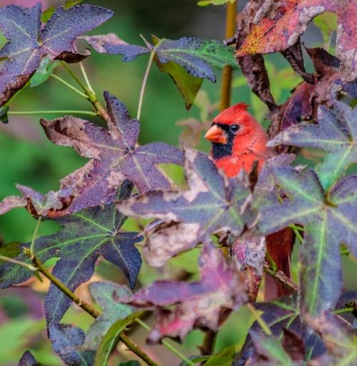 cardinal_foliage_blog