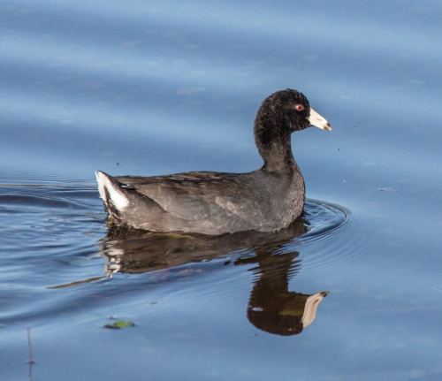 coot_swimming1_blog