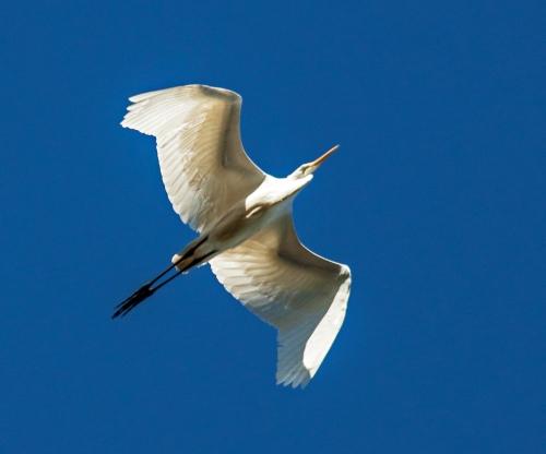 egret_overhead1_blog