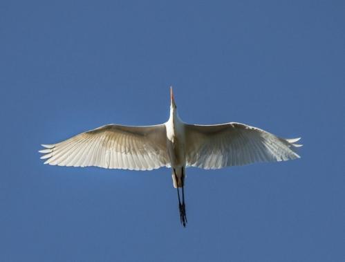 egret_overhead2_blog