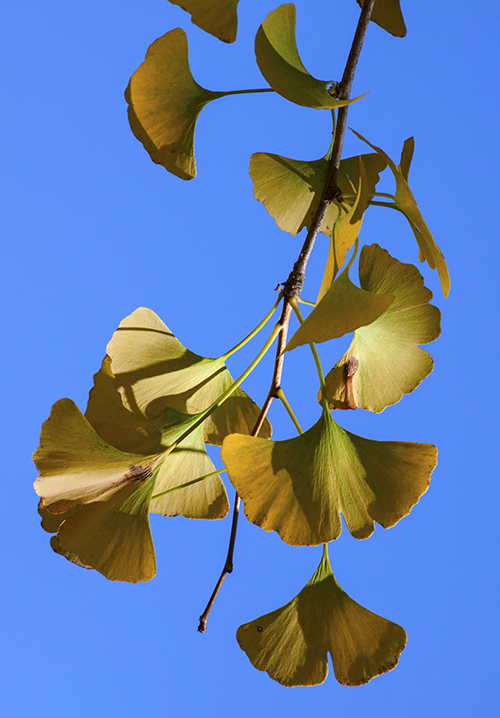 GInkgo Vertical blog