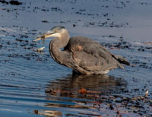 heron_fish1_blog