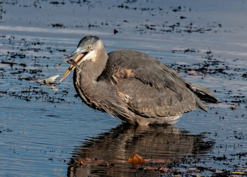heron_fish2_blog