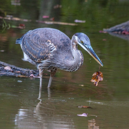 heron_leaf_blog