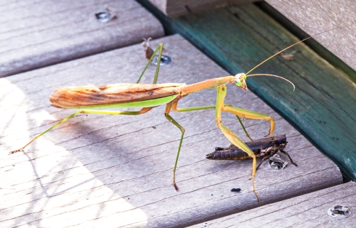 mantis_grasshopper_blog
