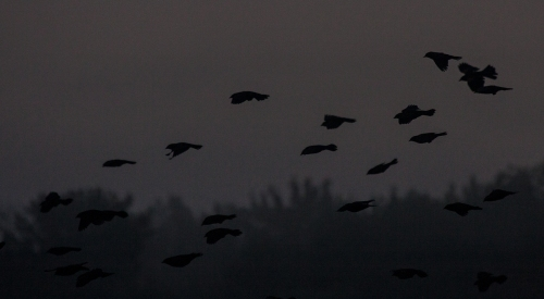 pre-dawn_blackbirds_blog
