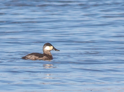 ruddy_duck1_blog