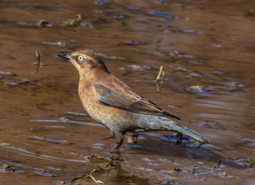 blackbird_rusty_female_blog