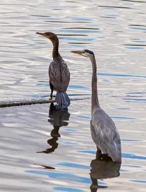 cormorant_heron_blog